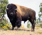 buffalo.jpeg